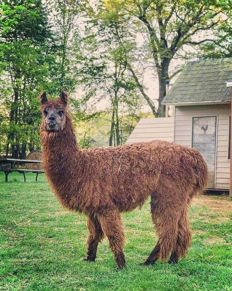 Alpaca Shearing Day